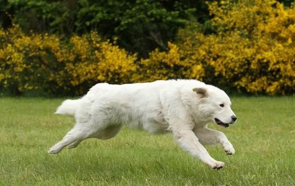 Маремма-собака-Описание-особенности-характер-виды-уход-и-цена-мареммы-6