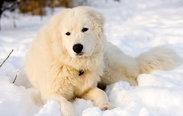 Маремма-собака-Описание-особенности-характер-виды-уход-и-цена-мареммы-7