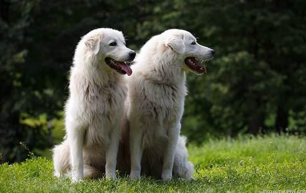 Маремма-собака-Описание-особенности-характер-виды-уход-и-цена-мареммы-8