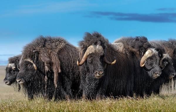 Овцебык-животное-Описание-особенности-виды-образ-жизни-и-среда-обитания-овцебыка-1