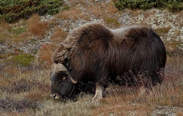 Овцебык-животное-Описание-особенности-виды-образ-жизни-и-среда-обитания-овцебыка-10