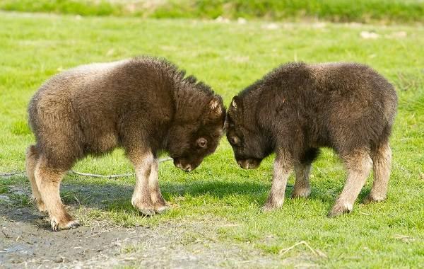 Овцебык-животное-Описание-особенности-виды-образ-жизни-и-среда-обитания-овцебыка-11