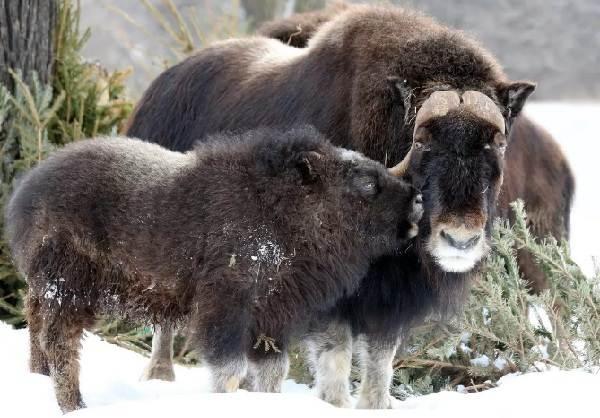 Овцебык-животное-Описание-особенности-виды-образ-жизни-и-среда-обитания-овцебыка-12