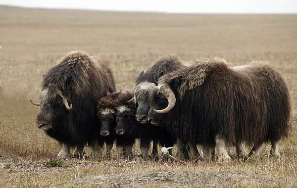 Овцебык-животное-Описание-особенности-виды-образ-жизни-и-среда-обитания-овцебыка-2