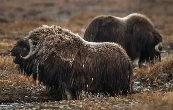 Овцебык-животное-Описание-особенности-виды-образ-жизни-и-среда-обитания-овцебыка-3