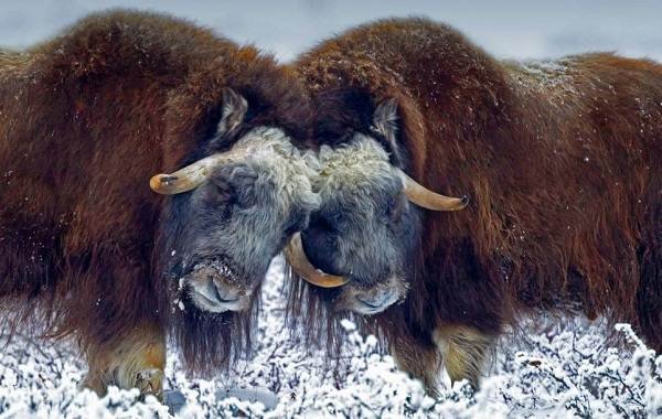 Овцебык-животное-Описание-особенности-виды-образ-жизни-и-среда-обитания-овцебыка-4