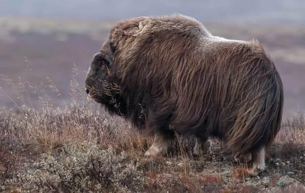Овцебык-животное-Описание-особенности-виды-образ-жизни-и-среда-обитания-овцебыка-5