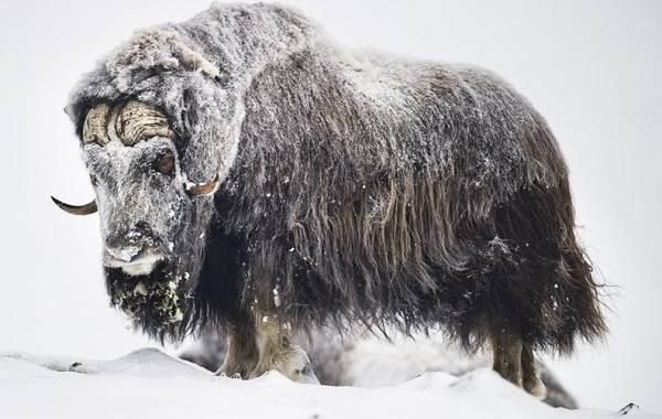 Овцебык-животное-Описание-особенности-виды-образ-жизни-и-среда-обитания-овцебыка-6