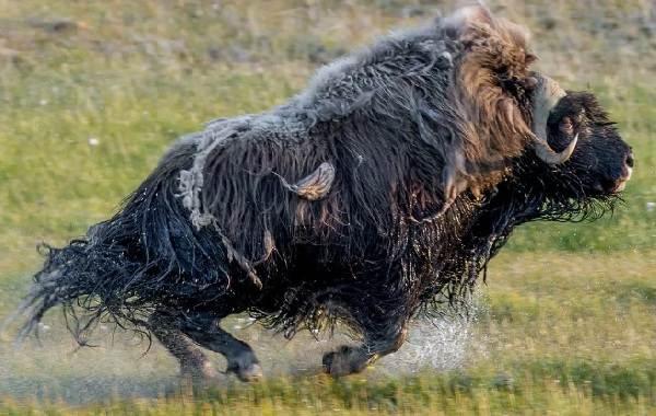 Овцебык-животное-Описание-особенности-виды-образ-жизни-и-среда-обитания-овцебыка-7