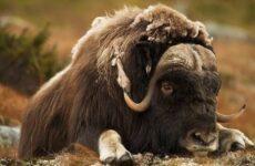 Овцебык животное. Описание, особенности, виды, образ жизни и среда обитания овцебыка
