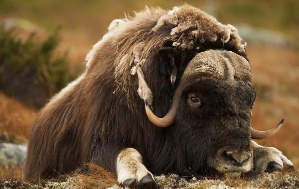 Овцебык-животное-Описание-особенности-виды-образ-жизни-и-среда-обитания-овцебыка-8