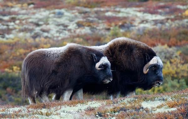 Овцебык-животное-Описание-особенности-виды-образ-жизни-и-среда-обитания-овцебыка-9