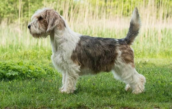 Редкие-породы-собак-Описание-названия-виды-и-фото-редких-пород-собак-11