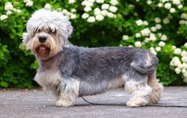Редкие-породы-собак-Описание-названия-виды-и-фото-редких-пород-собак-12