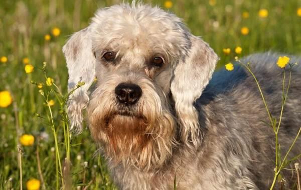 Редкие-породы-собак-Описание-названия-виды-и-фото-редких-пород-собак-13