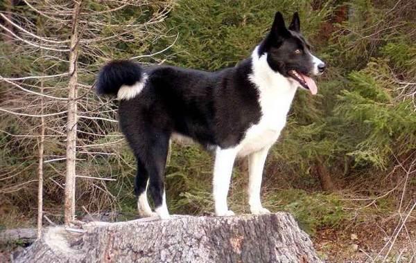 Редкие-породы-собак-Описание-названия-виды-и-фото-редких-пород-собак-14
