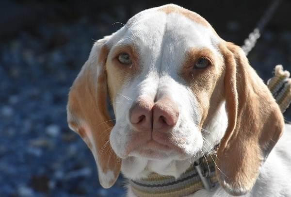 Редкие-породы-собак-Описание-названия-виды-и-фото-редких-пород-собак-16