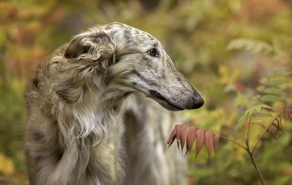Редкие-породы-собак-Описание-названия-виды-и-фото-редких-пород-собак-19