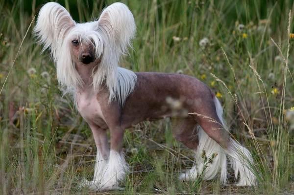 Редкие-породы-собак-Описание-названия-виды-и-фото-редких-пород-собак-20
