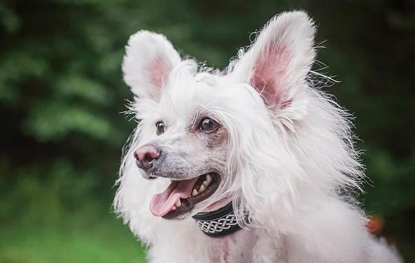 Редкие-породы-собак-Описание-названия-виды-и-фото-редких-пород-собак-21
