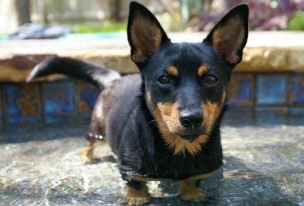Редкие-породы-собак-Описание-названия-виды-и-фото-редких-пород-собак-23