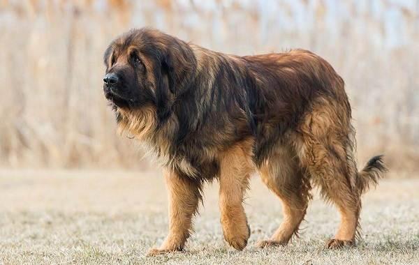 Редкие-породы-собак-Описание-названия-виды-и-фото-редких-пород-собак-24