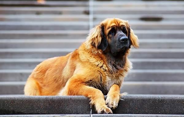 Редкие-породы-собак-Описание-названия-виды-и-фото-редких-пород-собак-25