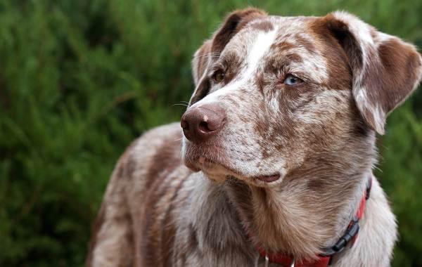Редкие-породы-собак-Описание-названия-виды-и-фото-редких-пород-собак-27