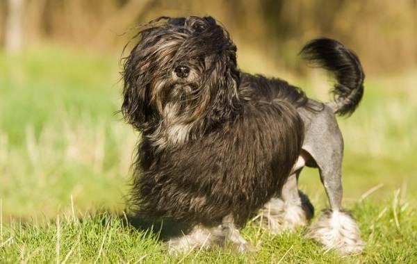 Редкие-породы-собак-Описание-названия-виды-и-фото-редких-пород-собак-28