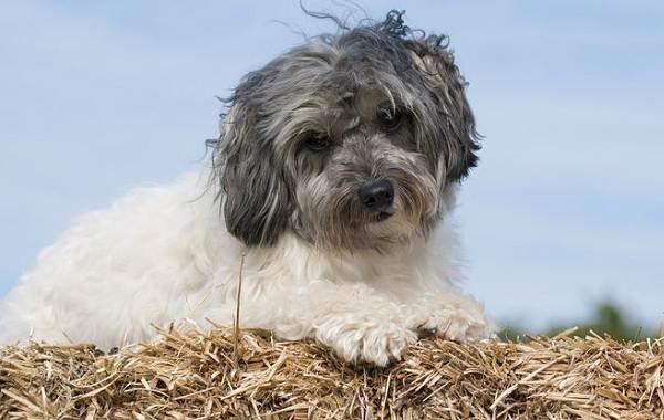 Редкие-породы-собак-Описание-названия-виды-и-фото-редких-пород-собак-29