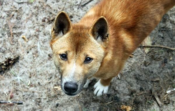 Редкие-породы-собак-Описание-названия-виды-и-фото-редких-пород-собак-33