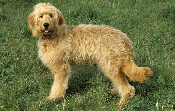Редкие-породы-собак-Описание-названия-виды-и-фото-редких-пород-собак-34