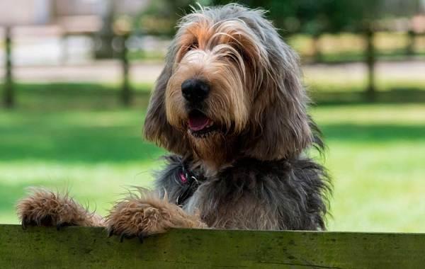 Редкие-породы-собак-Описание-названия-виды-и-фото-редких-пород-собак-35