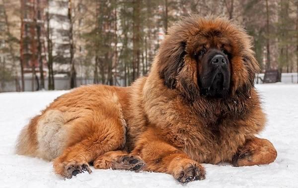 Редкие-породы-собак-Описание-названия-виды-и-фото-редких-пород-собак-38