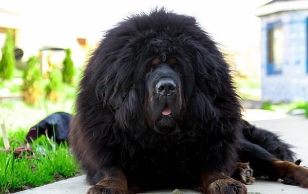 Редкие-породы-собак-Описание-названия-виды-и-фото-редких-пород-собак-39