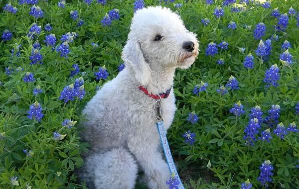 Редкие-породы-собак-Описание-названия-виды-и-фото-редких-пород-собак-4
