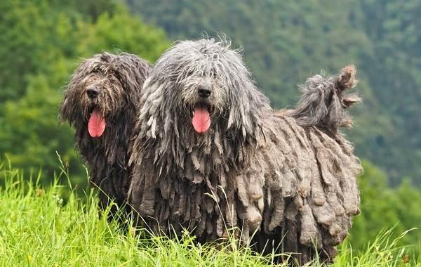 Редкие-породы-собак-Описание-названия-виды-и-фото-редких-пород-собак-5
