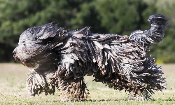 Редкие-породы-собак-Описание-названия-виды-и-фото-редких-пород-собак-6
