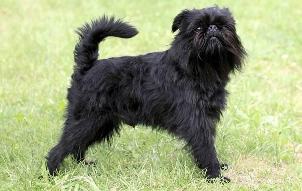 Редкие-породы-собак-Описание-названия-виды-и-фото-редких-пород-собак-8