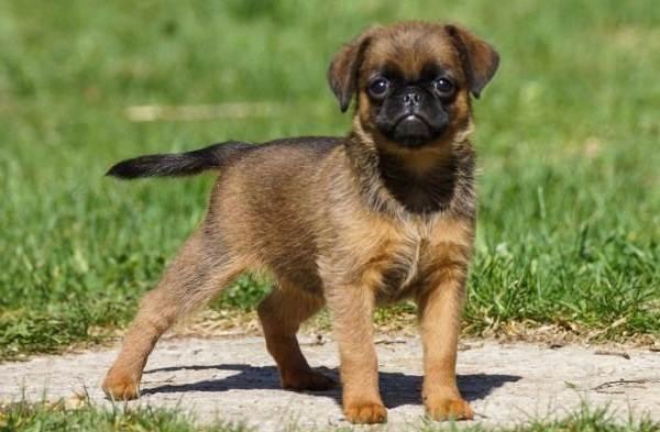 Редкие-породы-собак-Описание-названия-виды-и-фото-редких-пород-собак-9