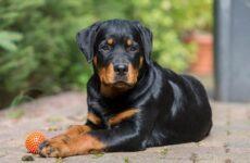 Ротвейлер собака. Описание, особенности, виды, уход и цена породы ротвейлер