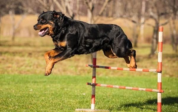 Ротвейлер-собака-Описание-особенности-виды-уход-и-цена-породы-ротвейлер-11