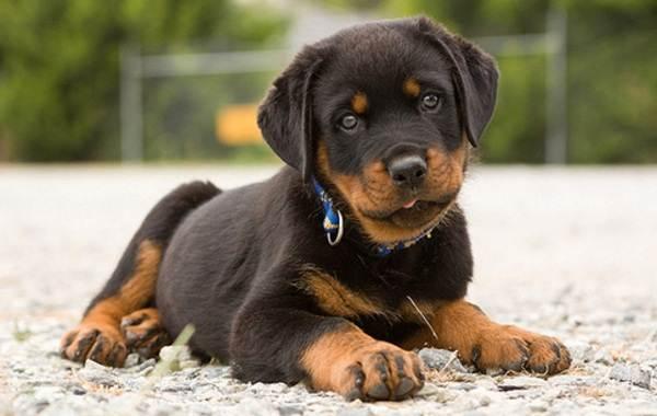 Ротвейлер-собака-Описание-особенности-виды-уход-и-цена-породы-ротвейлер-12