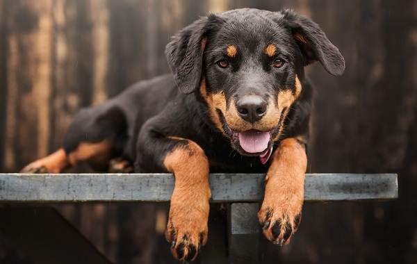 Ротвейлер-собака-Описание-особенности-виды-уход-и-цена-породы-ротвейлер-14