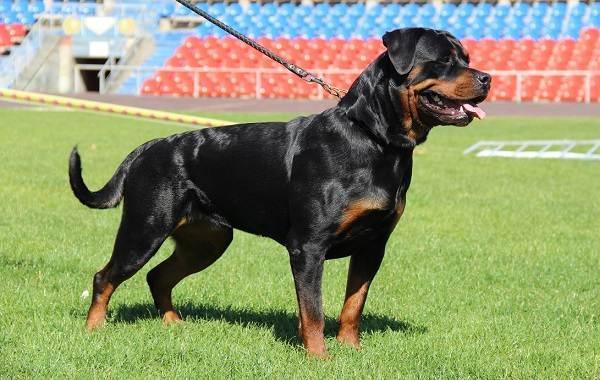 Ротвейлер-собака-Описание-особенности-виды-уход-и-цена-породы-ротвейлер-2