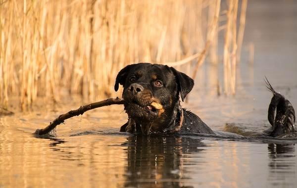 Ротвейлер-собака-Описание-особенности-виды-уход-и-цена-породы-ротвейлер-6