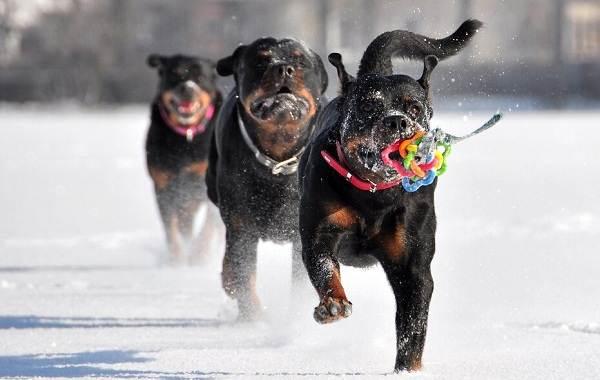 Ротвейлер-собака-Описание-особенности-виды-уход-и-цена-породы-ротвейлер-8