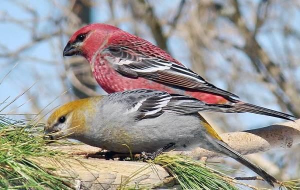 Щур-птица-Описание-особенности-виды-образ-жизни-и-среда-обитания-птицы-щур-1