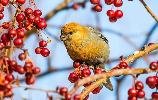 Щур-птица-Описание-особенности-виды-образ-жизни-и-среда-обитания-птицы-щур-10