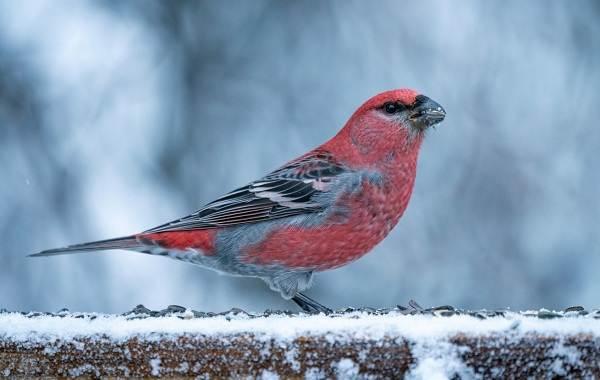 Щур-птица-Описание-особенности-виды-образ-жизни-и-среда-обитания-птицы-щур-2